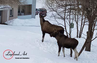 En älg ko med den ena av sina två kalvar är på väg in på gården i Jokkmokk